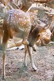 fawn Fotografia de Stock