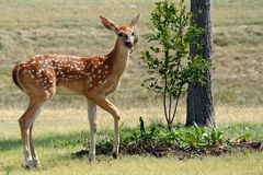 Fawn royalty free stock photo