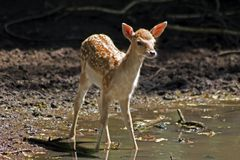 The fawn Stock Photography