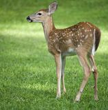 Fawn Royalty Free Stock Photos