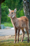 Fawn. In safari park in Italy Stock Image