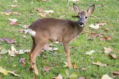 Fawn. A fawn in a green meadow with some fall leaves Stock Photo