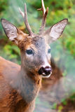 Fawn Royalty Free Stock Photography