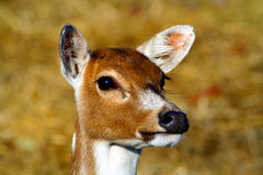 Fawn. Close up of a fawn Stock Photos