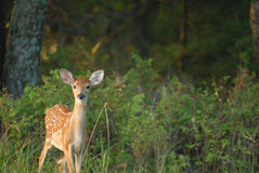 Free Fawn Stock Photography - 3968892