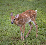 Fawn. Whitetail in spots on green spring grass stock photos