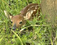 Fawn. Whitetail deer fawn attempting to hide next to a tree royalty free stock photo
