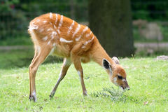 Fawn. Grazing stock image
