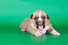 Fawn american staffordshire terrier puppy Stock Photo