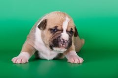 Fawn american staffordshire terrier puppy Royalty Free Stock Image