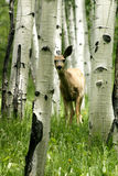 Fawn in aspen forrest. Fawn in colorado mountains in aspen forrest Royalty Free Stock Images