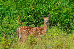 Fawn attento dei cervi della coda bianca Fotografia Stock