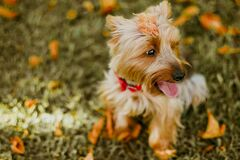 Fawn Australian Terrier Sitting on Grass Royalty Free Stock Photos