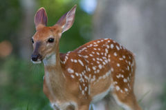 Fawn. A baby deer wonders who I am Royalty Free Stock Photography