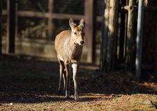 Fawn. A baby fawn is walking towards the camera Royalty Free Stock Images