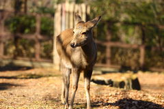 Fawn. A baby fawn is watching the camera Royalty Free Stock Image