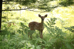 Fawn. Baby fawn in the woods Stock Photography