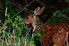 fawn behind tall grass and bushes eating in forest royalty free stock photos