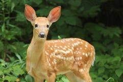 Fawn Bianco-munito dei cervi (virginianus del Odocoileus) Fotografia Stock
