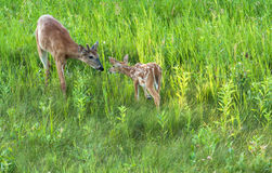 Fawn and big brother. A fawn withher big brother in the grass Royalty Free Stock Photo