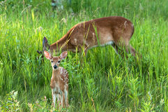Fawn with big brother. Fawn and young buck with new antlers starting in tall grass Stock Images
