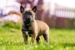 Fawn and Black Belgian Malinois Puppy on Green Grass Royalty Free Stock Photo