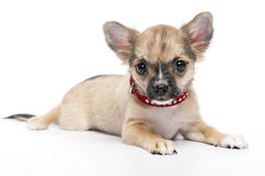 Fawn with black mask Chihuahua puppy Royalty Free Stock Photos