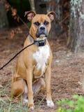 Fawn Boxer Dog Royaltyfri Bild