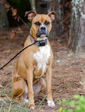 Fawn Boxer dog. Outdoor pet photography, humane society adoption photo, Walton County Animal Shelter, Georgia Royalty Free Stock Image