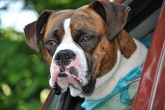 Fawn Boxer Dog. Fawn Boxer watching out truck window Stock Images