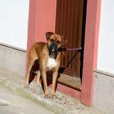 Fawn Boxer que olha a câmera Fotografia de Stock