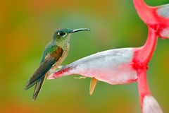 Fawn-breasted Brilliant, Heliodoxa rubinoides, hummingbird from Ecuador. Cute bird sitting on a beautiful red Heliconia flower, tr Stock Photography