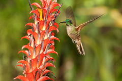 Fawn-breasted Brilliant. Hovering in front of bromeliad flowers, Ecuador Stock Image