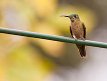 Fawn-breasted Brilliant Hummingbird Royalty Free Stock Images