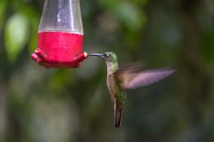 Fawn-breasted Brilliant Hummingbird Feeding. Fawn-breasted Brilliant Hummingbird at the Feeder Stock Image