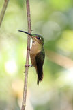 Fawn-breasted Brilliant hummingbird (Heliodoxa rubinoides) Royalty Free Stock Photo