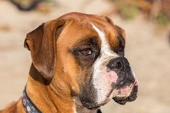 Fawn Brindle German Boxer Headshot royalty-vrije stock foto's