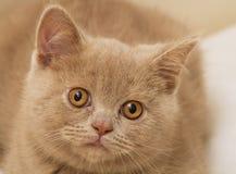 Fawn British Shorthair Kitten Foto de archivo libre de regalías