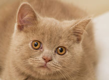 A Fawn British Shorthair Kitten Royalty Free Stock Photo