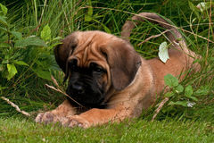 Fawn Cane corso puppy, 8 weeks Stock Images