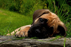 Fawn Cane corso puppy, 8 weeks Royalty Free Stock Photography