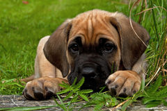 Fawn Cane corso puppy, 8 weeks Stock Image