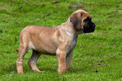Fawn Cane corso puppy, 8 weeks Royalty Free Stock Photos