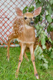 Fawn In Captivity Royaltyfri Foto