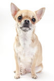Fawn Chihuahua dog Royalty Free Stock Image