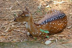 A Fawn of Chital - Spotted Deer. This is a photograph of an innocent young kid of a spotted deer, also known as chital, cheetal, axis deer or axis axis, sitting Royalty Free Stock Images