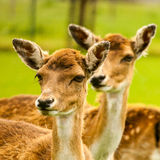 Fawn in close up Stock Photos