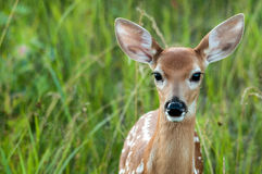 Fawn close up Stock Photography