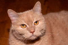 Fawn-colored or beige cat Royalty Free Stock Images