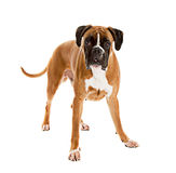 Fawn-colored Boxer. German Fawn-colored Boxer dog, pure breed on white background Royalty Free Stock Images